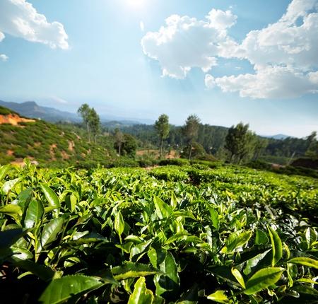 Tea plantation Stock Photo - 13530355
