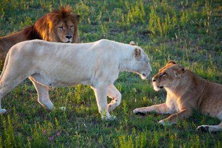 lion Stock Photo - 13804930