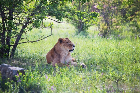 lion Stock Photo - 13888521