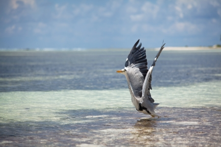 heron on Maldives photo