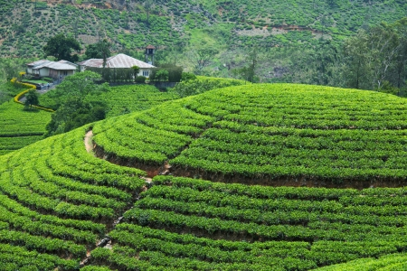 tea plantation: Tea plantation Stock Photo
