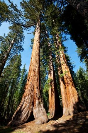 tall tree: sequoia