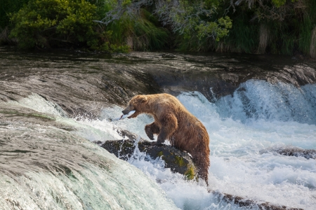 Grizzly bear on Alaska photo