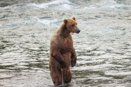 Grizzly bear on Alaska photo