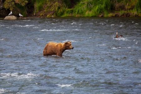 alaskian: Grizzly bear on Alaska