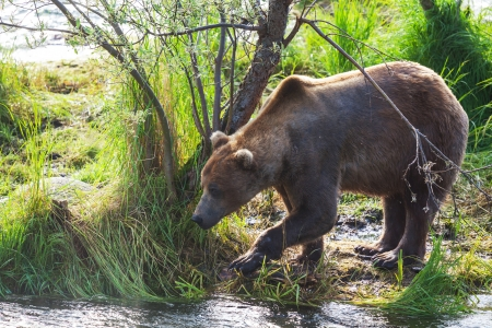 salmon falls: Grizzly bear on Alaska