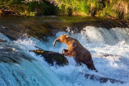 grizzly: L'ours brun sur l'Alaska Banque d'images