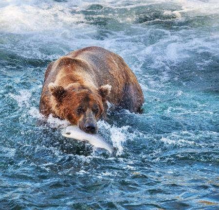 angry bear: Oso pardo en Alaska Foto de archivo