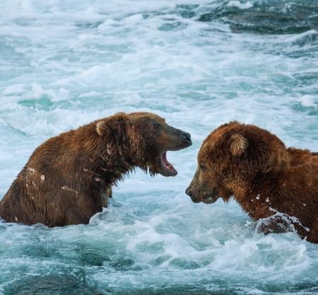 alaskian: Brown bear on Alaska