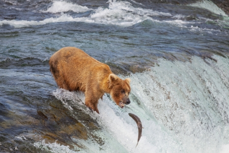 Brown bear on Alaska Stock Photo - 15160727