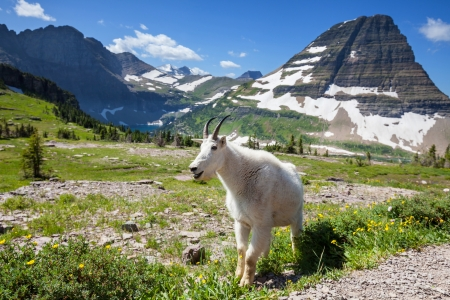 mountain goats: goat in Glacier National Park,USA