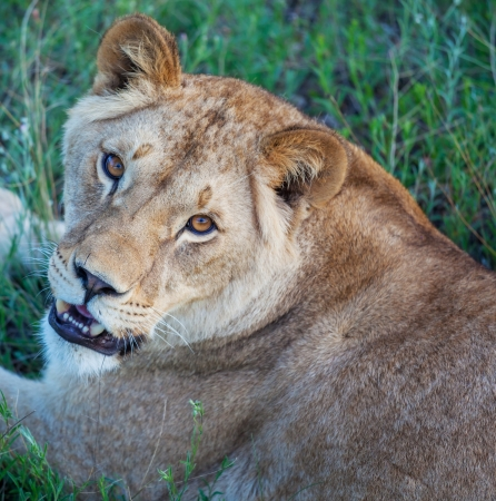 africat: lion Stock Photo