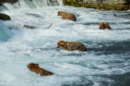 Brown bear on Alaska photo