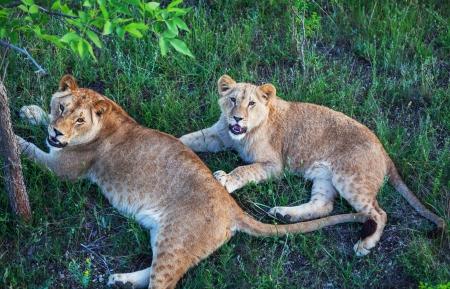 africat: lion Editorial