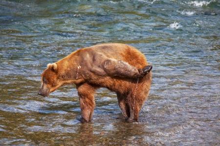alaskan bear: Brown bear on Alaska