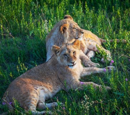 africat: lion Stock Photo