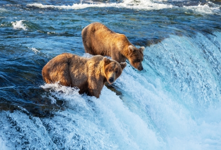 grizzly bear: Brown bear on Alaska