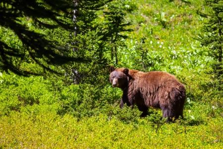 oso negro: oso negro en el bosque Foto de archivo