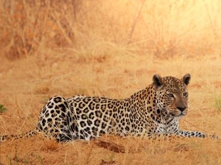 african safari: Leopard closeup