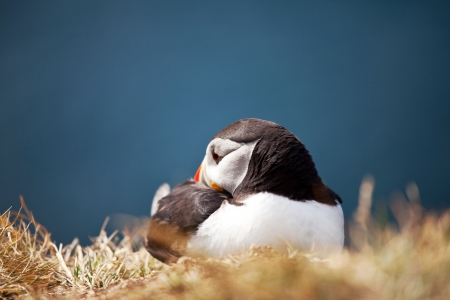 puffin Stock Photo - 15714813