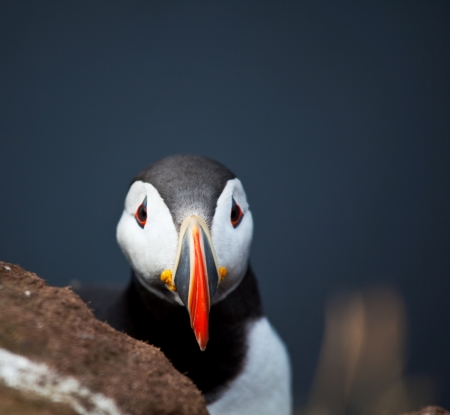 puffin Stock Photo - 15702860