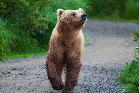 Brown bear on Alaska Stock Photo - 15819049