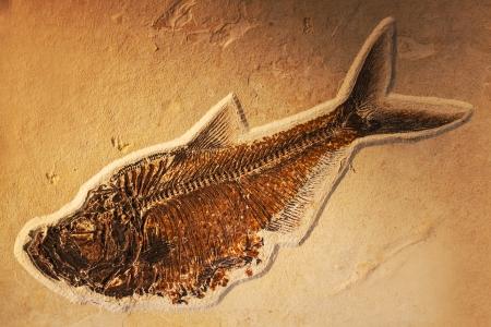 petrified fossil: petrified fish