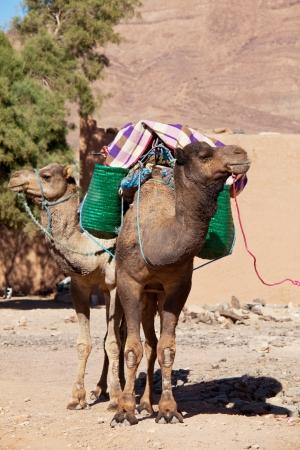 mirage: Camel at sunset Stock Photo