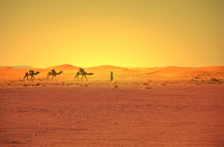 camel in desert: Caravan in Sahara desert