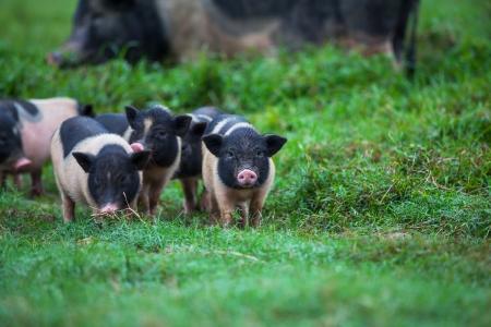 vietnam pig Stock Photo - 16482261