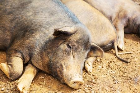 pot belly: vietnam pig