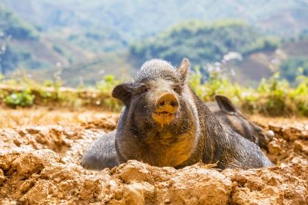 vietnam pig Stock Photo - 16544682