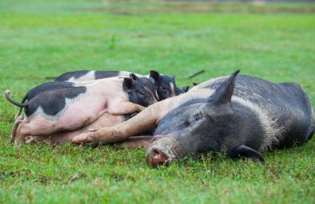 vietnam pig Stock Photo - 16592393