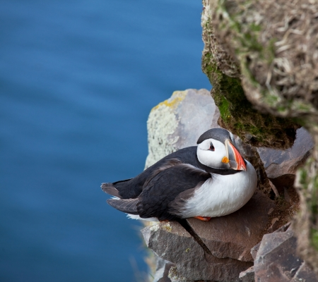 puffin Stock Photo - 16668311