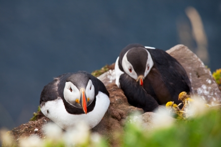 puffin Stock Photo - 16668324