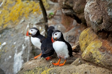 puffin Stock Photo - 16668352
