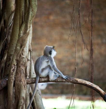 Monkeys in Anuradhapura, Sri Lanka photo