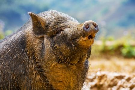 vietnam pig Stock Photo - 16721034