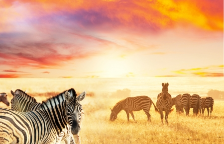 savanna: zebras at sunset