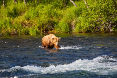 Brown bear on Alaska photo