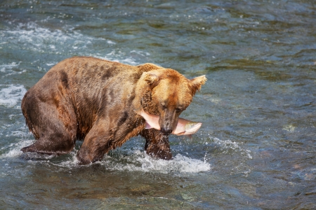 salmon falls: Brown bear on Alaska