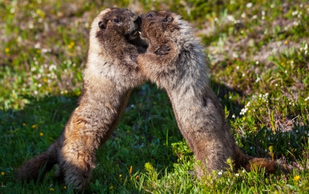 hibernate: marmot Stock Photo