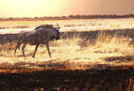 wiped out: Wildebeest