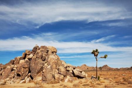 Joshua tree in  desert Stock Photo - 17565705
