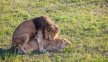 africat: lions