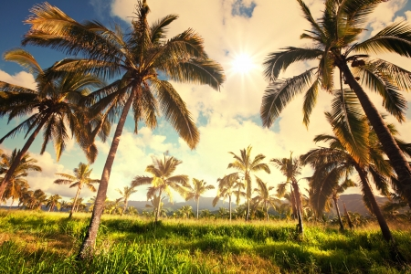 big island: Palm plantation on Hawaii