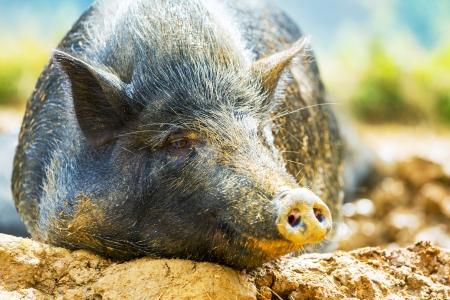 vietnam pig photo