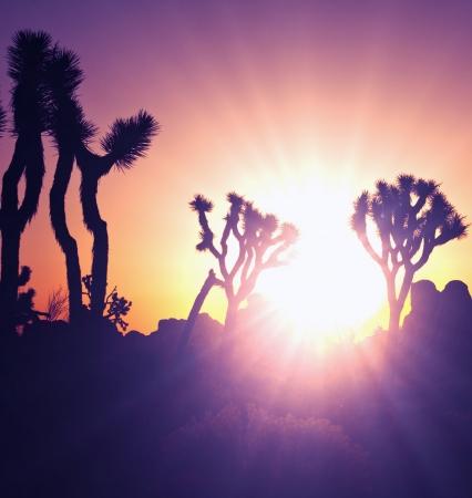 joshua: Joshua tree in  desert Stock Photo