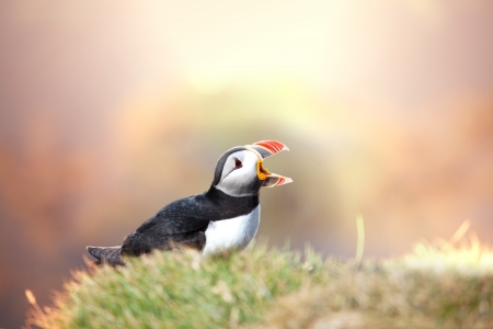 puffin Stock Photo - 17856733
