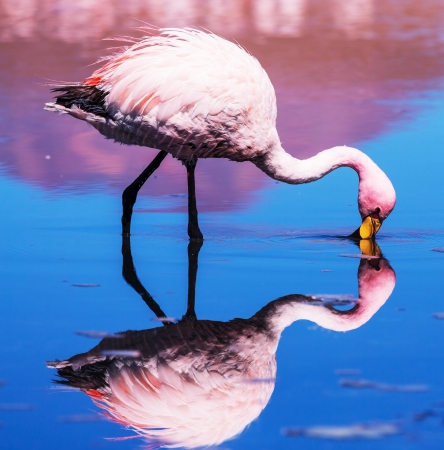 flamingo in Bolivia Stock Photo - 19444465